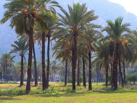 Palmeral de San Anton de Orihuela