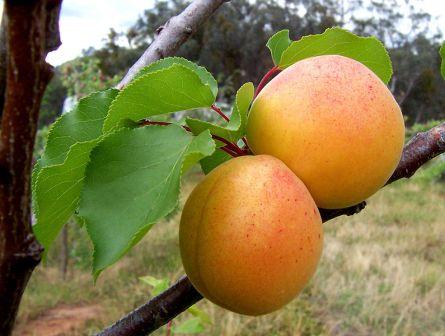 Albaricoques, producto comarcal de la Albaida